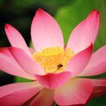 仏教で蓮の花がよく出てくるのはどうしてでしょうか。仏教と蓮の関係について