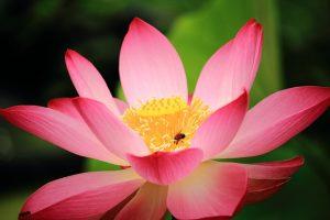 仏教で蓮の花がよく出てくるのはどうしてでしょうか。