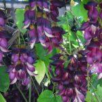 トビカズラの別名「優曇華」|「優曇華」とはどんな花?